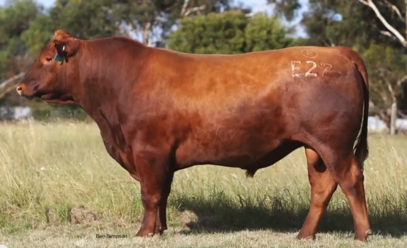 Rhodes red angus cattle for sale
